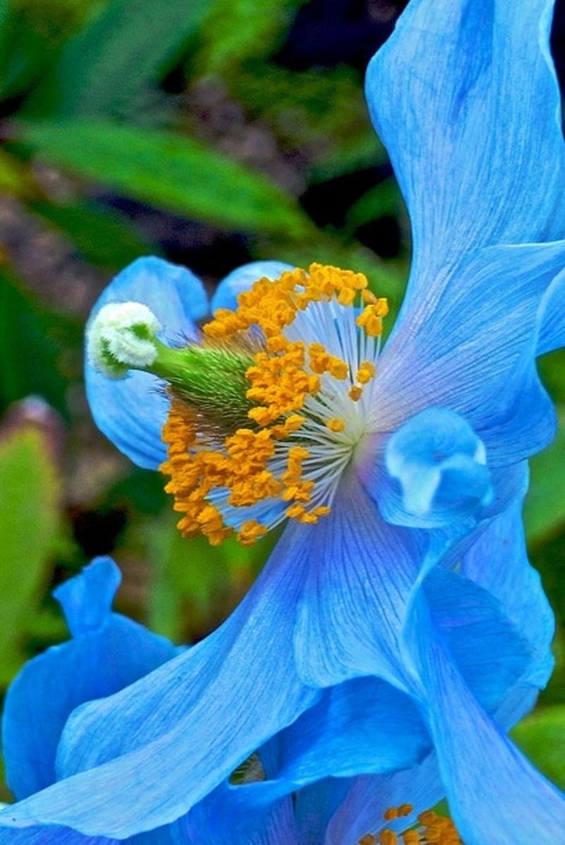 Himalayan Blue Poppy Bouquet fleur - Page 36...