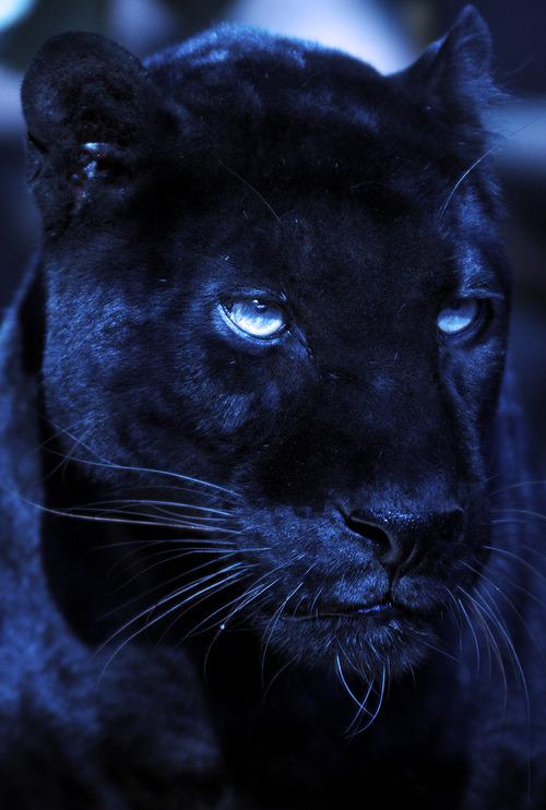 noire panthere panther eyes animal leopard cat jaguar panthers superbe nice dark spirit